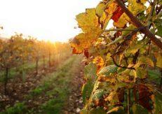 vineyard-agriculture-autumn-branch